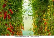 stock-photo-garden-plants-tomato-tomato-tomato-vine-ripe-tomatoes-yellow-tomatoes-are-grown-590046986